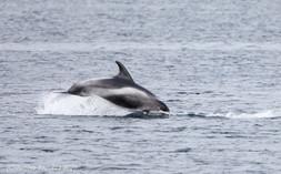 White-beaked Dolphin - Bluemull