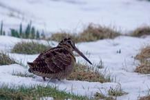 Woodcock - Haroldswick