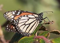 Monarch - Sumburgh