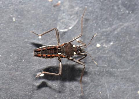 Water Cricket - Cullivoe