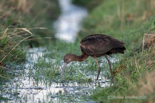 Glossy Ibis - Baltasound