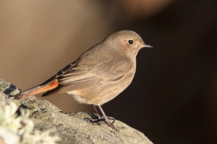 Black Redstart - Lerwick