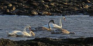 Mute Swans - Boddam