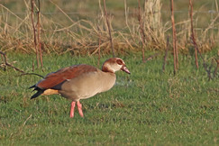 Egyptian Goose - Fleck
