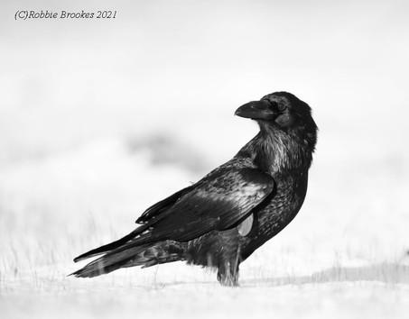 Raven - Baltasound