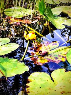 breeding, lilies on pond, wildlife