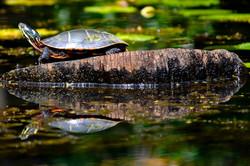 champlain, turtle