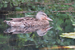 kelly, duck, wildlife