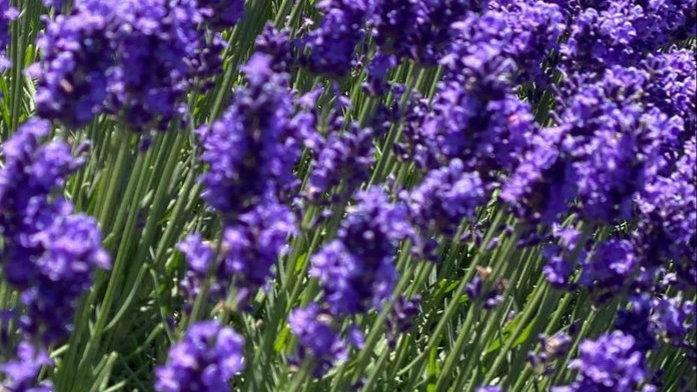 Sifted Lavender 薰衣草茶 50g (克)