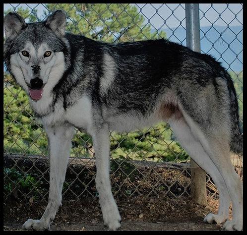 Wolf-dog Sponsorship