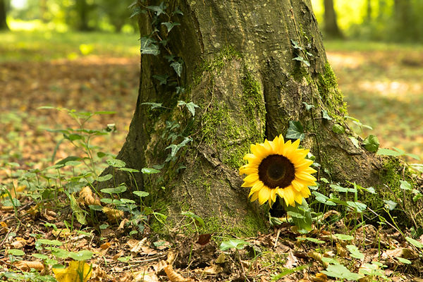 A sunflower lies at the tree trunk in a forest Cemetery, Germany.jpg