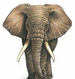 Elefante Full Front_edited.jpg