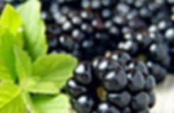 Blackberry_sage_1000px.jpg