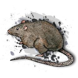 1. Brown Rat