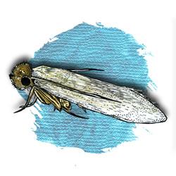 13. Webbing Clothes Moth