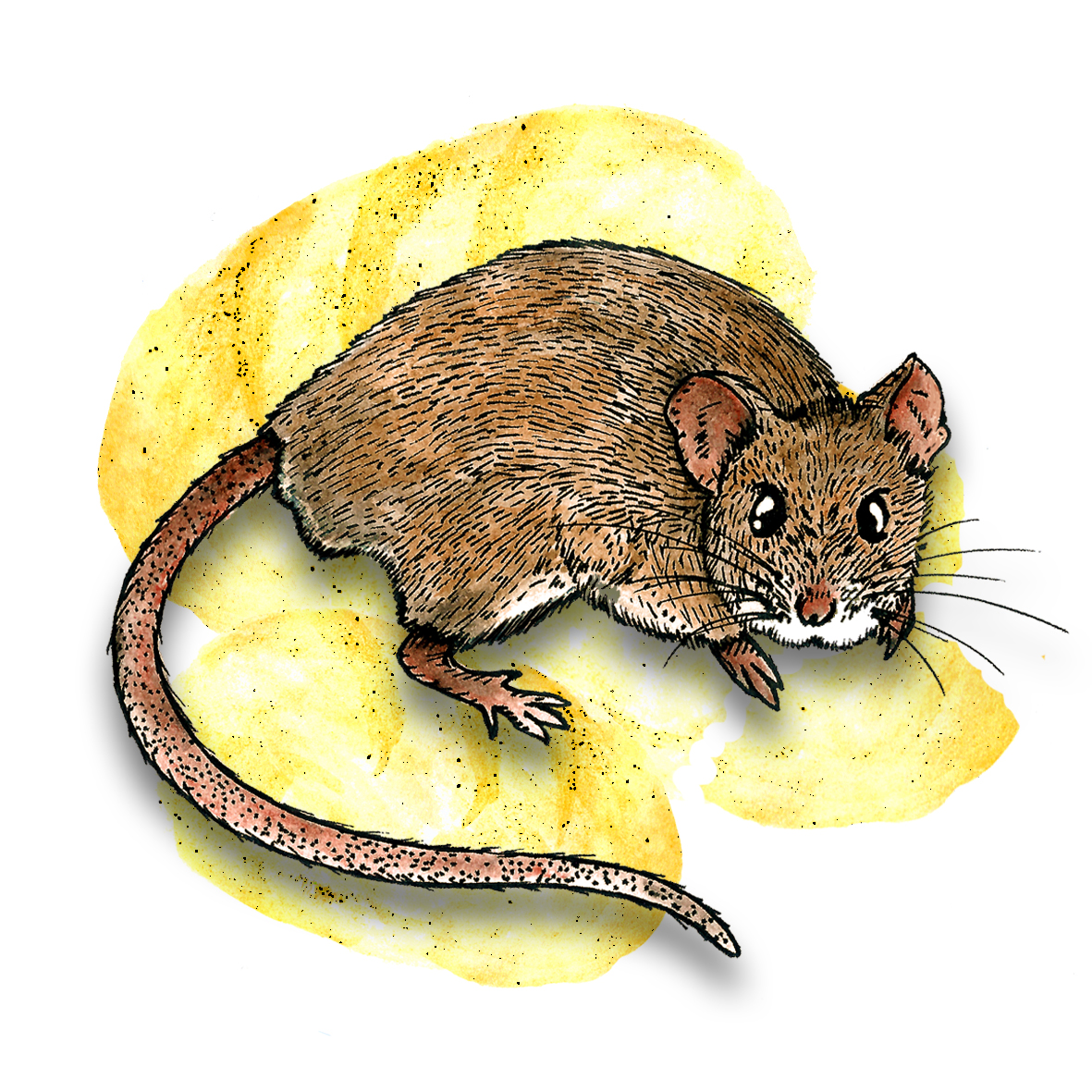8. House Mouse