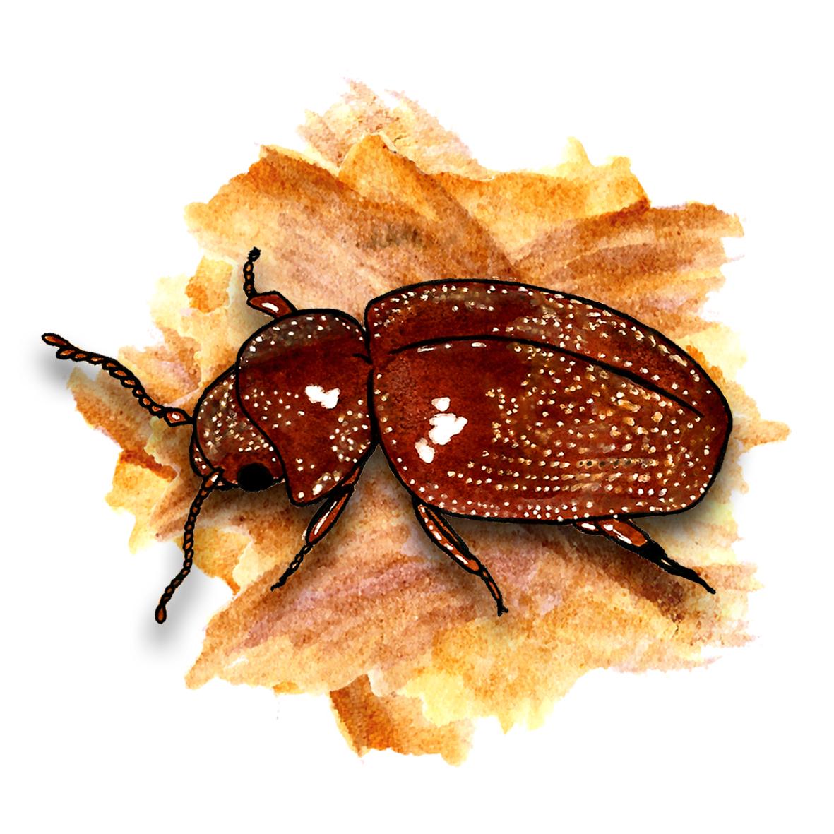 15. Cigarette Beetle