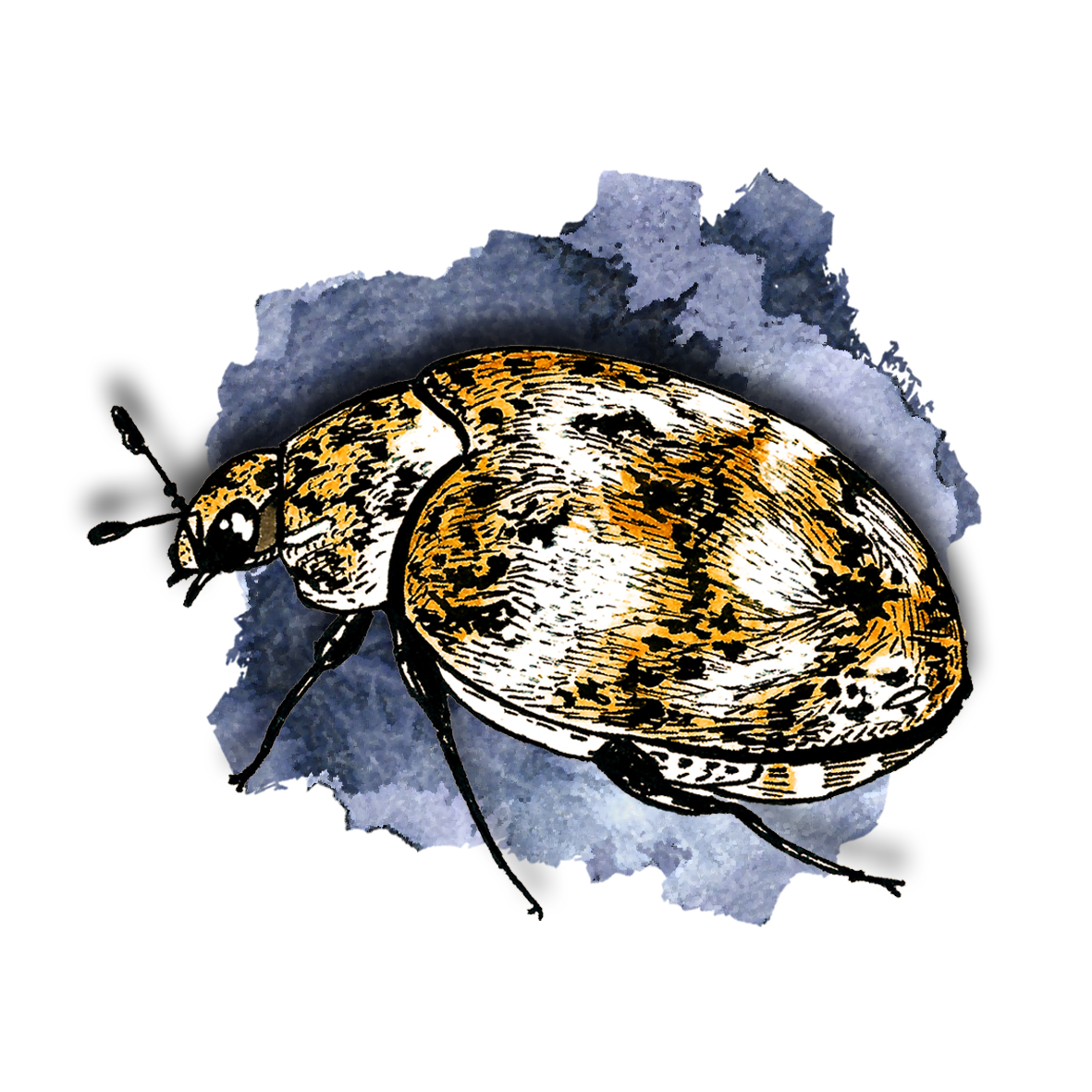 11. Carpet Beetle