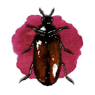 Museum Nuisance Beetle