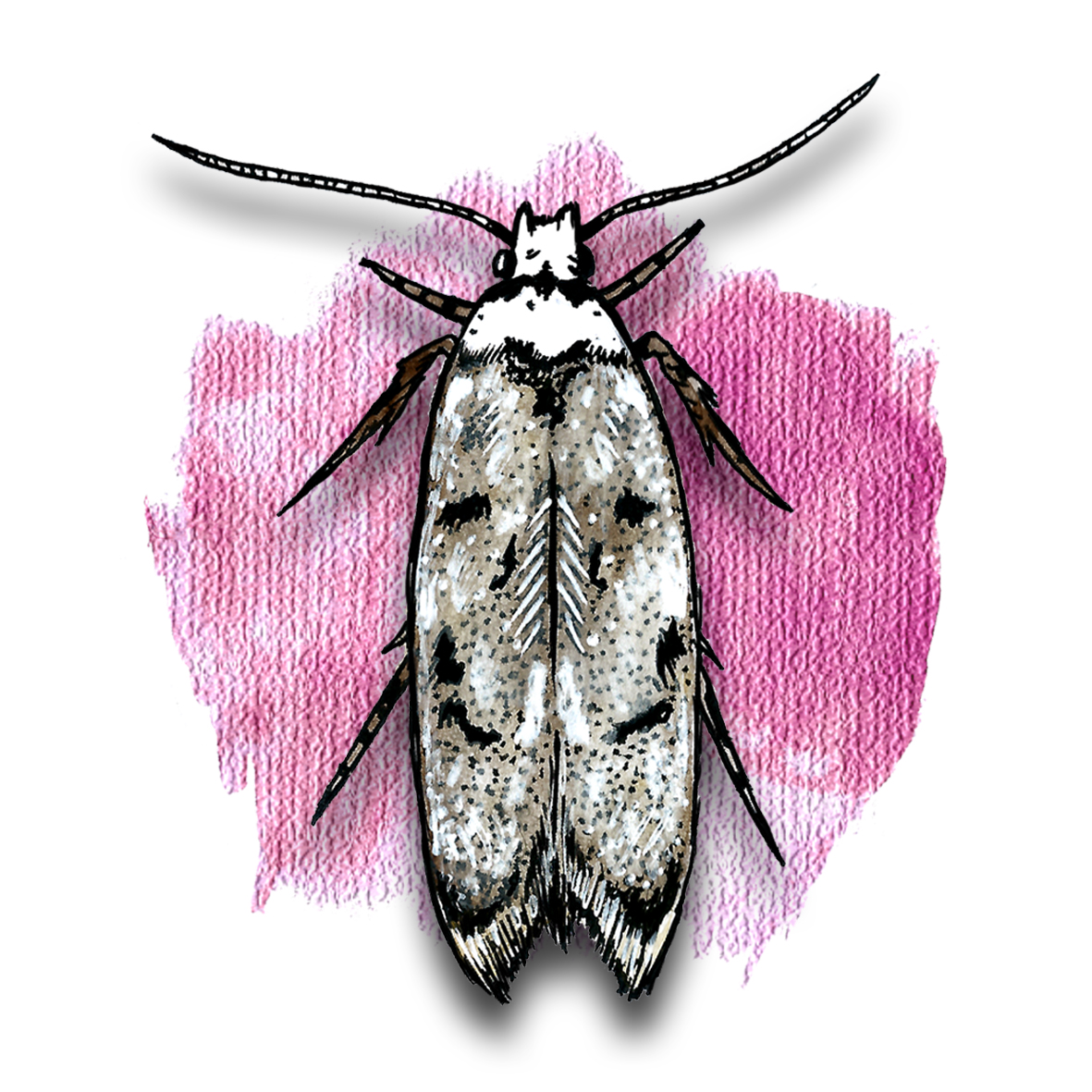 20. White Shouldered House Moth
