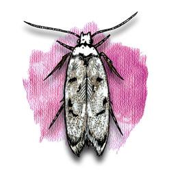 20. White Shouldered House Moth
