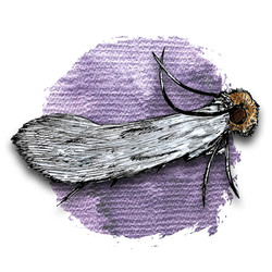 7. Casebearing Clothes Moth