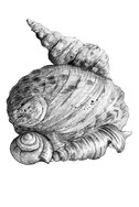 Marion Adnams' Shells