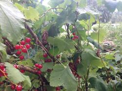 redcurrents in the garden