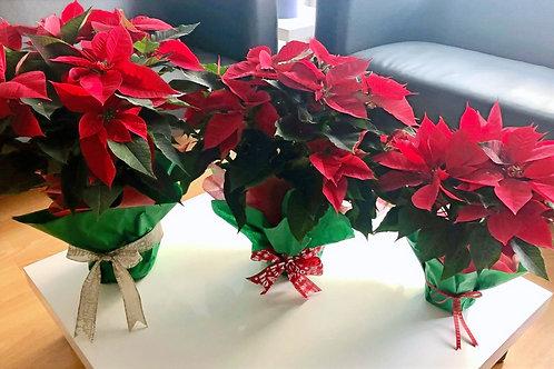 Set Nochebuenas