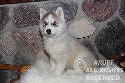 Gray Siberian Husky Puppy
