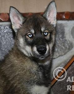 Agouti Siberian Husky