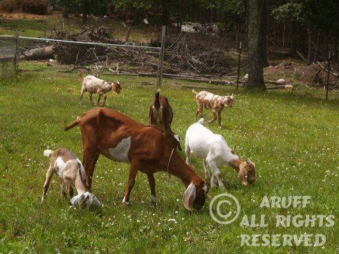 Environment_Goat11.jpg