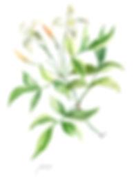 Botanische tekeningjasmijn-1_edited.jpg