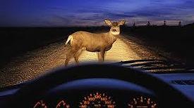 deer encounter at night.