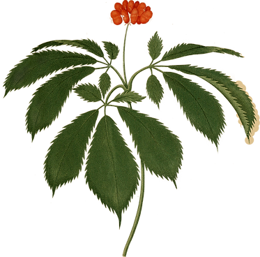 Illustration of a panax quinquefolius ginseng plant
