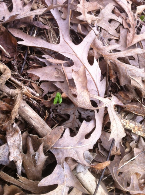 A freshly-sprouted wild Wisconsin-American ginseng plant emerges from below a blanket of oak leaves.