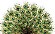 Peacock feathers. Carnival..jpg