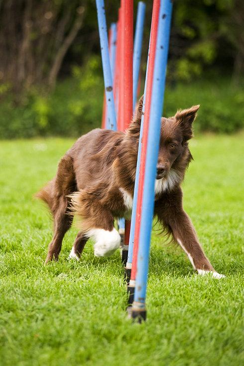 8769375-agility-dog-doing-slalom.jpg