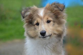 shetland-sheepdog-2640016_1920.jpg