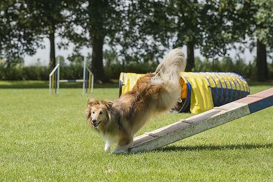28527853-shetland-sheepdog-juming-off-an