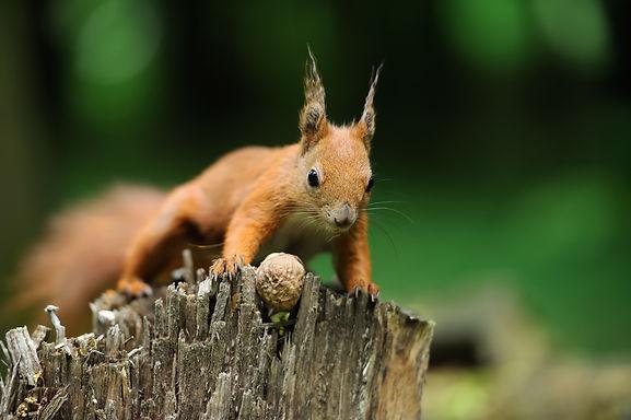 Marmot in Mongolia Now Squirrels in Colorado, USA