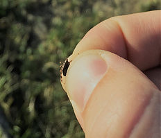 Tick in hand - South Africa.jpg
