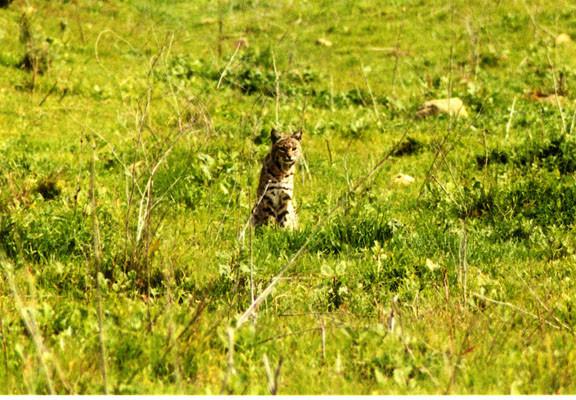 bobcat241.jpg
