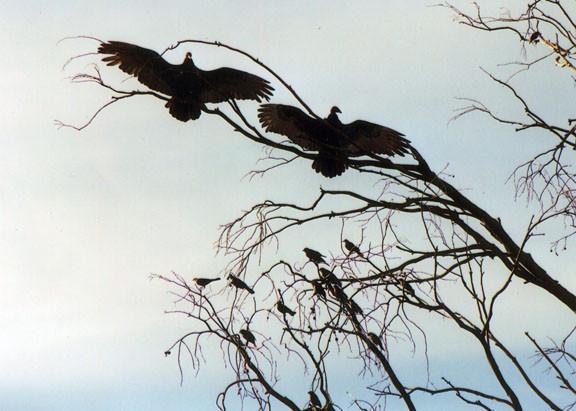 Basking Buzzards