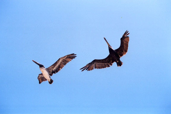 pelicanflying2.jpg