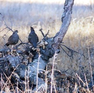 quaillog025.jpg