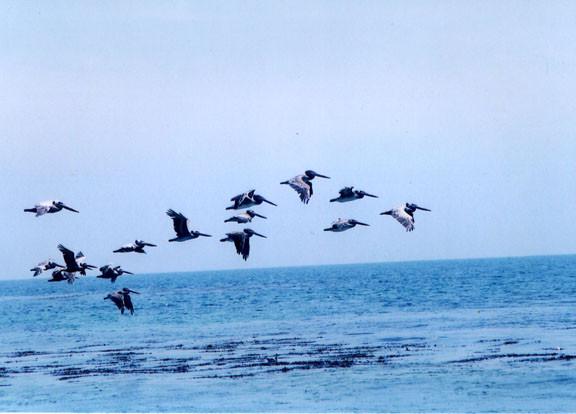 pelicanflying244.jpg