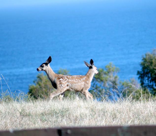 Mirror Deer