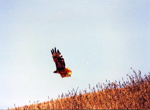 Hawk3.jpg