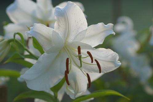 Casa Blanca Lily